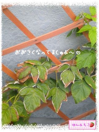 ちこちゃんのラズベリー観察日記★2★-4