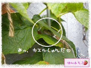 ちこちゃんのラズベリー観察日記★2★-5