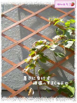 ちこちゃんのラズベリー観察日記★3★-2