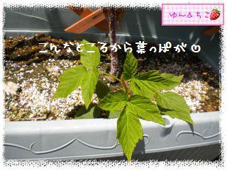 ちこちゃんのラズベリー観察日記★3★-3