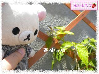 ちこちゃんのラズベリー観察日記★3★-4