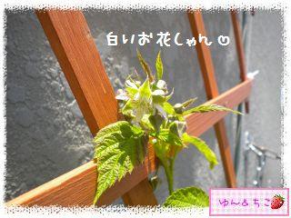 ちこちゃんのラズベリー観察日記★3★-5