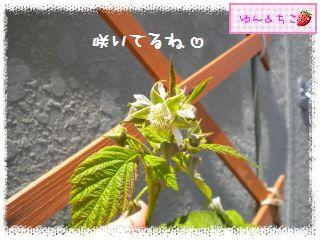 ちこちゃんのラズベリー観察日記★3★-6