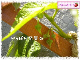 ちこちゃんのラズベリー観察日記★3★-8