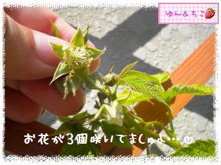 ちこちゃんのラズベリー観察日記★4★-3