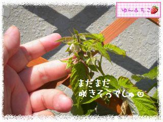 ちこちゃんのラズベリー観察日記★4★-4