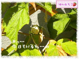 ちこちゃんのラズベリー観察日記★4★-5