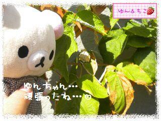 ちこちゃんのラズベリー観察日記★4★-6