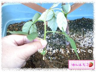 ちこちゃんのラズベリー観察日記★5★株分け??-3