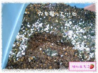 ちこちゃんのラズベリー観察日記★5★株分け??-4