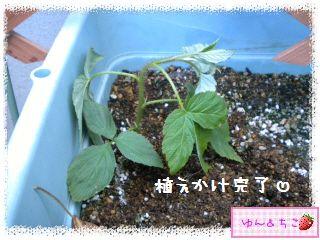 ちこちゃんのラズベリー観察日記★5★株分け??-5
