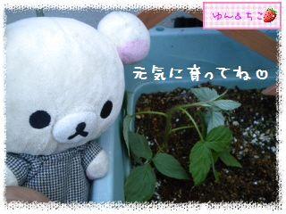 ちこちゃんのラズベリー観察日記★5★株分け??-6