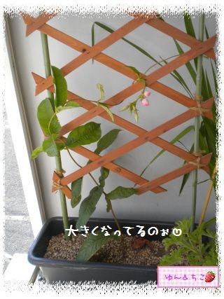 ちこちゃんのプランターガーデニング日記★7★マンデビラ②-2