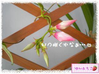 ちこちゃんのプランターガーデニング日記★7★マンデビラ②-4