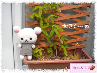 ちこちゃんのプランターガーデニング日記★8★トケイソウ③-2