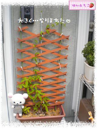 ちこちゃんのプランターガーデニング日記★8★トケイソウ③-3