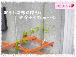ちこちゃんのプランターガーデニング日記★8★トケイソウ③-4