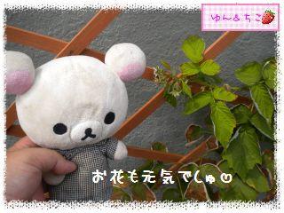 ちこちゃんのラズベリー観察日記★6★-3