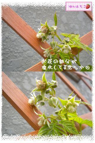 ちこちゃんのラズベリー観察日記★6★-4
