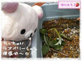 ちこちゃんのラズベリー観察日記★6★-5