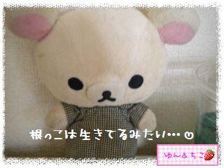 ちこちゃんのアボカド栽培日記★18★あれれれれ…-4