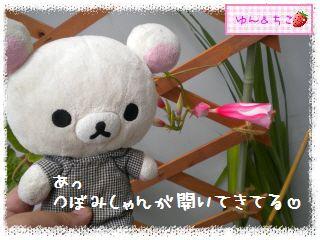 ちこちゃんのプランターガーデニング日記★9★マンデビラ③-2