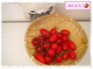 トマト観察日記★18★大収穫~-3