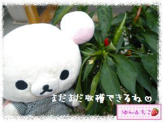 ちこちゃんの夏野菜観察日記2013鷹の爪しゃん-5