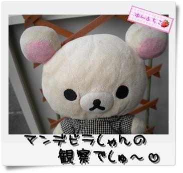 ちこちゃんのプランターガーデニング日記★10★マンデビラ④-1