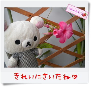 ちこちゃんのプランターガーデニング日記★10★マンデビラ④-2