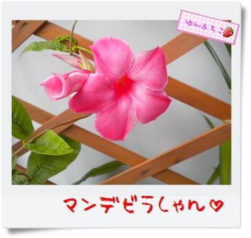 ちこちゃんのプランターガーデニング日記★10★マンデビラ④-3