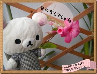ちこちゃんのプランターガーデニング日記★11★マンデビラ⑤-2
