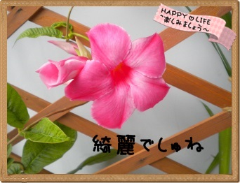 ちこちゃんのプランターガーデニング日記★11★マンデビラ⑤-3