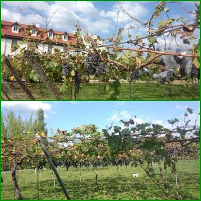 修道院のブドウ畑