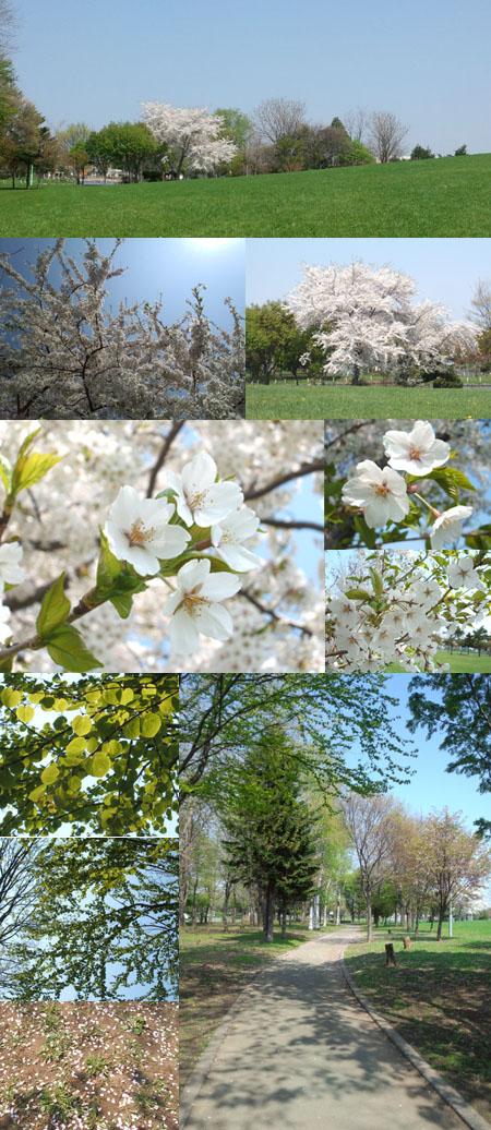 2012桜(紅葉山公園) のコピー