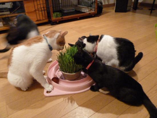 猫草まつり