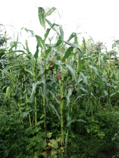 固定種玉蜀黍1