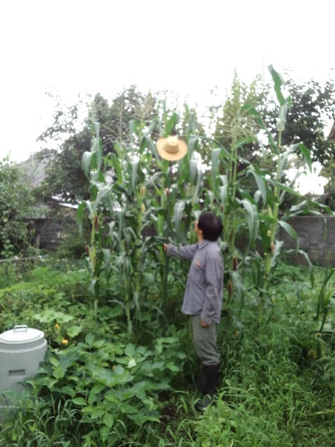 固定種玉蜀黍2