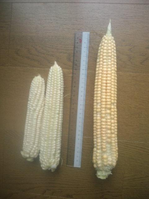 初収穫の未熟玉蜀黍固定種