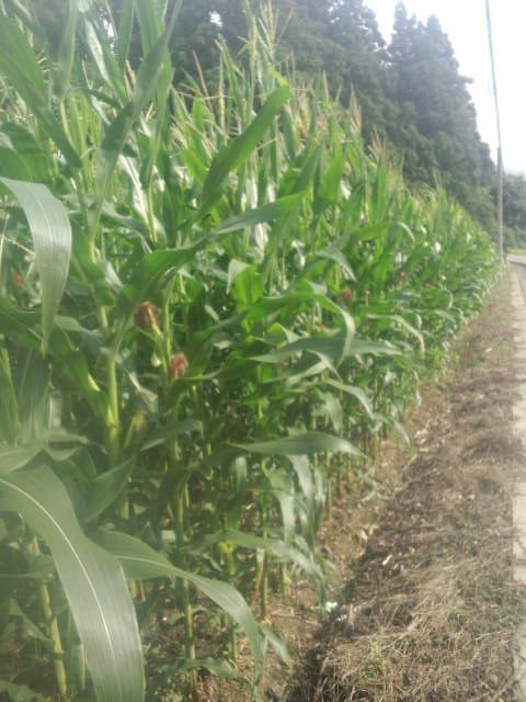 他所の畑の高い玉蜀黍