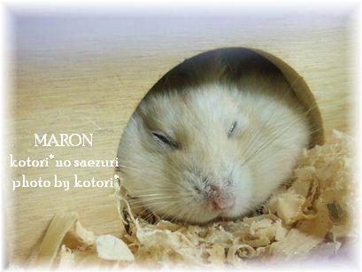 ハムスター「マロン」逝きました