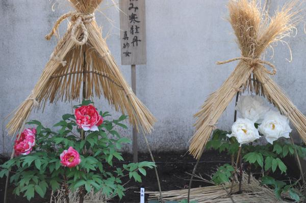 上野東照宮冬ぼたん2