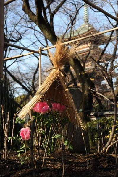 上野東照宮冬ぼたん3