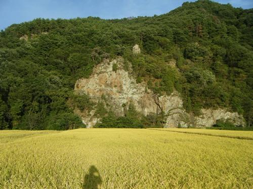 黄金の田んぼ