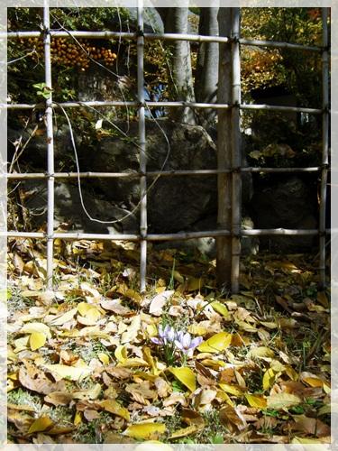 竹垣の前のサフラン