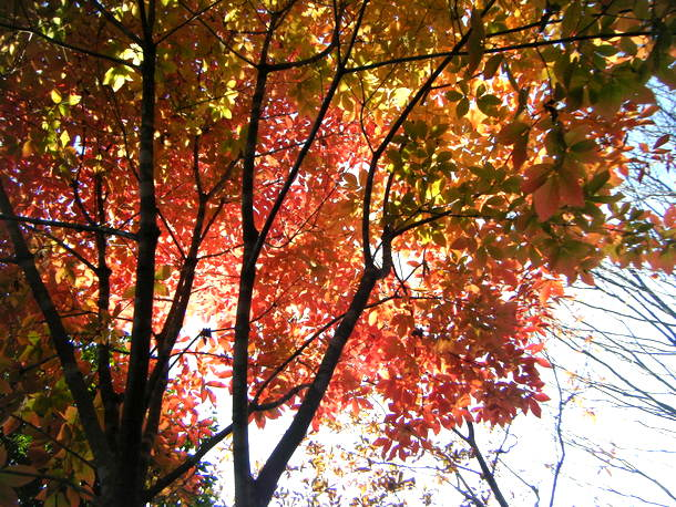日に透けるメグスリノキの紅葉