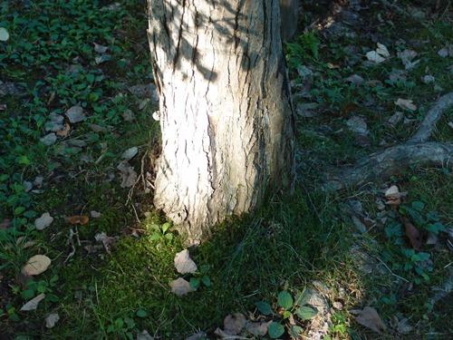 光る木の幹