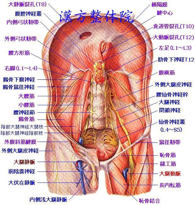 後腹壁内面の筋肉 - 漢方医学の...