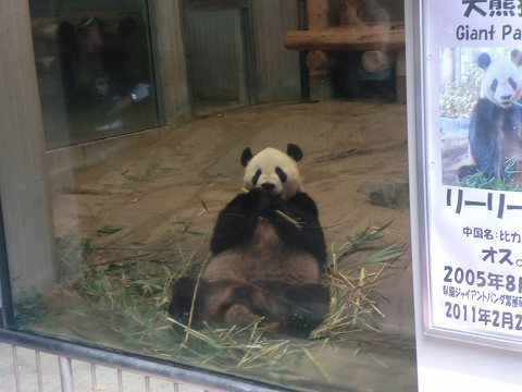 上野動物園 ジャイアントパンダ リーリー