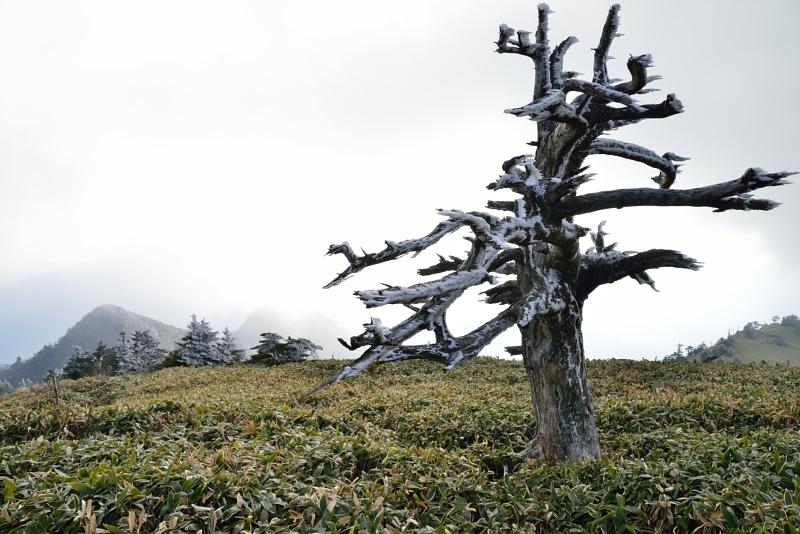 「霧氷付く白骨林」 (愛媛県瓶ヶ森)